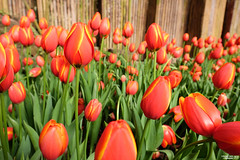 (lscott200) Tags: life travel flowers nature spring taiwan  tulip fujifilm    nantou  2016 xt1 xf14mmf14rwr