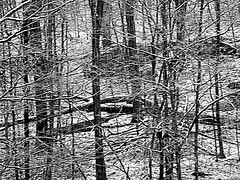 Honor The Fallen By Standing Tall (rcvernors) Tags: trees winter blackandwhite snow cold forest woods strong snowing strength snowfall harsh winterstorm adversity blackandwinter 2016rickchildersallrightsreserved honorthefallenbystandingtall