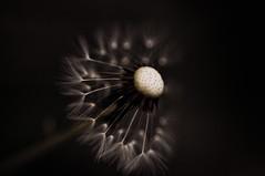 Dandelion, Hint of Color (F.emme) Tags: blackandwhite macro weeds dandelion reversemount