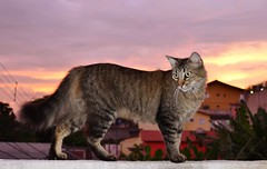 DSC_0866 (Jackeline_ASG) Tags: sunset sol cat cores nikon do flash gato 1855mm quentes pr d5100