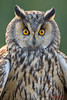 "long eared owl "" portrait "" (TARIQ HAMEED SULEMANI) Tags: travel tourism nature birds trekking long owl tariq eared sulemani tariqhameedsulemani"