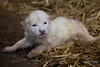 DSC_3223WM (Linda Smit Wildlife Impressions) Tags: cats white nature animal cat mammal photography big nikon outdoor african wildlife birth lion d750 cubs endangered lioness bigcats cecil carnivore lioncubs givingbirth