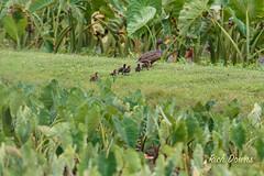Hawaiian Duck and chicks (rich_downs) Tags: hawaii us duck unitedstates wildlife national hawaiian chicks hanalei refuge princeville