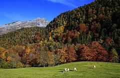 Symphonie de couleurs / Autumn in mountain (Jean-Paul Valois) Tags: autumn mountain colors berg montagne automne couleurs arbres pyrenees pyrnes ossau forts teintes pyrnesbarnaises