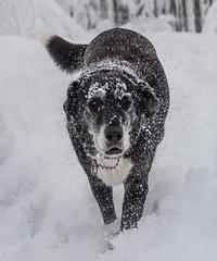 DSC_6770 (klingp (instagram)) Tags: chien animal neige boubou faade
