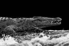 Cocodrilo del Nilo (Crocodylus niloticus), Nile Crocodile. (Sergio Bitran M) Tags: africa white black southafrica reptile nile lagarto reptil 2014 nilo sudafrica nilecrocodile saurio cocodile crocodylusniloticus cocodrilodelnilo sauropsida cocobrilo
