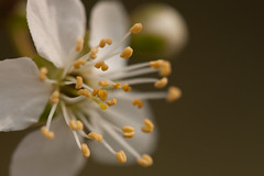 Come closer (gabi_halla) Tags: white flower macro nature beauty spring plum pollen macrophoto macrophotography plumflower springishere macrodreams