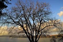Alberi (francesco_43) Tags: lago rami trasimeno fronde