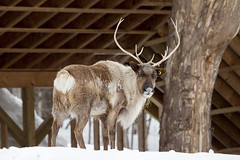 Caribou (Eunice Gibb) Tags: canada forest quebec wildlife parc parcomega forestanimals montebello canadianwildlife canadiananimals quebecwildlife