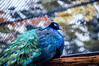Peacock (@Dpalichorov) Tags: portrait beautiful zoo pheasant bokeh peacock cage niko portraite peafowl peahen gobbler nikond3200 feathering d3200