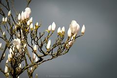 Sweet magnolia (Boudewijn Vermeulen) Tags: houses house village huis dorp huizen broekinwaterland broek