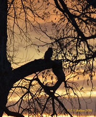 April 10, 2016 - An owl silhouetted by sunrise at the Arsenal. (Ed Dalton)