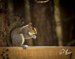 (crfleury) Tags: nc backyard squirrel birdfeeder feeder 7d 14x 70200f28lisusm crfleury 7020014x