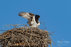 Osprey returns from Home Depot sequence - 18 of 27