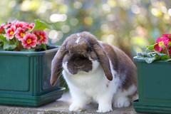 Il mio peluche.....! (Ale*66*) Tags: pet rabbit bunny spring sweet madagascar lancillotto bunnylop arietenano