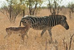 impala antelope (Aepyceros melampus) and cape mountain zebra (Equus zebra zebra) (delimaaaaaaaaa) Tags: africa trip southafrica safari viagem krugerpark reserva gamereserve frica safri fricadosul