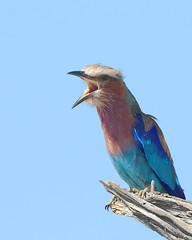 Rolieiro-de-peito-lils // Lilac-breasted Roller (http://jvverde.birdsby.me/v2/) Tags: coraciasgarrulus lilacbreastedroller rolieirodepeitolils