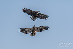 Juvenile Bald Eagle tries to steal away a fish - sequence - 2 of 9