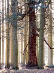 Vally-Gardens (stevestreet) Tags: morning trees mist cold tree misty early am spring backlit virginiawater 40150 omdem1