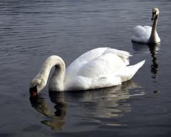 Swan couple (Pivi ) Tags: oslo norway island swan couple fjord cygnus
