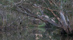 Gum reflection (Dale Gillard) Tags: reflection tree green water creek melbourne victoria eucalyptus gumtree brimbankpark