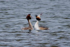 IMGP5288 Great Crested Grebes (courtship), Paxton Pits, March 2016 (bobchappell55) Tags: wild bird nature pits display wildlife great reserve crested cambridgeshire grebe paxton courtship