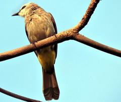 Yellow-vented Bulbul, Pycnonotus goiavier (asterisktom) Tags: cambodia february kampot bulbul 2016 yellowventedbulbul pycnonotusgoiavier trip20152016cambodiataiwan