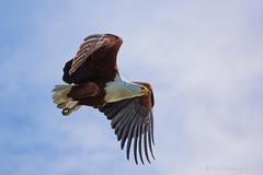 Fish Eagle in flight (Usha Harish) Tags: africa nature birds outdoor wildlife ngc birdsinflight uganda sublime nationalgeographic birdphotography nationalgeographicwildlife