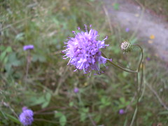 "Scabious • <a style=""font-size:0.8em;"" href=""http://www.flickr.com/photos/27734467@N04/26050390283/"" target=""_blank"">View on Flickr</a>"