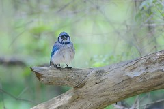 Wet Blue Jay (Kitty Kono) Tags: wet wildlife bluejay bathing easterncollegepond