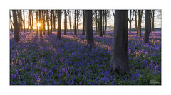 Carpets of Spring (JRTurnerPhotography) Tags: uk greatbritain travel flowers trees england panorama sun tourism nature bluebells forest sunrise canon woodland print landscape freshair photography dawn photo spring flora europe photographer image unitedkingdom britain outdoor picture wideangle tourist photograph frame gb british wildflowers nationaltrust oxfordshire photoframe naturephotography beechtrees wideanglelens landscapephotography canon1635mm badburywoods badburyclump jaketurner canon5dmarkiii oxfordshirelife visitoxfordshire jrturnerphotography canon1635mmf4lis