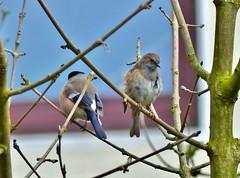 Gimpel&Heckenbraunelle (BrigitteE1) Tags: pink blue trees light tree bird birds contrast germany grey europe dunnock unusual bremen bullfinch backtoback heckenbraunelle gimpel specanimal gimpelheckenbraunelle