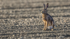 livre et rose du matin (R - P Photography) Tags: brown nature animal animals canon schweiz switzerland hare suisse fribourg animaux lapin brun champ vaud faune oreilles broye livre animalier gibier canoneos7dmarkii canonef500mmf4isii