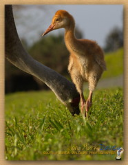 2 week old Sandhill Crane colt (QuakerVille) Tags: usa heron bigbird florida crane wildlife wellington fl bluebird colt greatblueheron sandhill wetland sandhillcrane graybird peacefulwaters jonmarkdavey