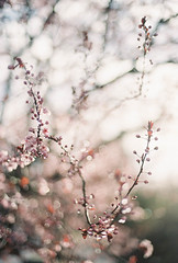 I'm not done with the Spring foliage yet... (peakbagger_trin) Tags: spring bokeh 50mm14 sakura nikonn75 floweringtrees fujicolorpro400h springismyfavoriteseason