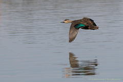 Pacific black duck in flight (kasia-aus) Tags: reflection bird nature water animal duck wings wildlife flight australia canberra blackduck pacificblackduck