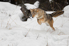 Intensity 3 (ms2thdr) Tags: winter montana wildlife kalispell coyotes controlledconditions tripledgamefarm