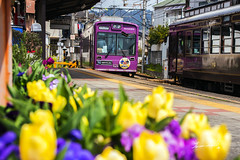 Randen & Tulips (Jennifer ) Tags: japan train kyoto tulips trains arashiyama             randen       nikond4s sukuratunnel