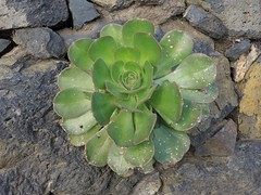 Rosettendickblatt in Las Nieves, La Palma, NGID1965673405 (naturgucker.de) Tags: aeoniumarboreum rosettendickblatt naturguckerde cwolfgangkatz 1038097865 1062798284 1349608308 ngid1965673405