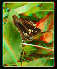 Female Zabulon Skipper, Poanes Zabulon - Anaglyph 3D (DarkOnus) Tags: macro closeup female butterfly insect lumix stereogram 3d pennsylvania skipper anaglyph panasonic stereo stereography buckscounty poanes zabulon dmcfz35 darkonus
