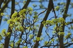 Finally Spring - Die Bäume im Hinterhof schlagen aus (Sockenhummel) Tags: tree spring fuji explore buds grün baum frühling knospen xe1 explored inexplore fluidr todaysexplore fujixe1