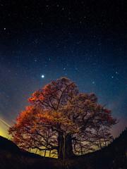 PhoTones Works #7711 (TAKUMA KIMURA) Tags: japan night cherry landscape star scenery view natural 桜 日本 自然 夜景 風景 okayama kimura daigo 景色 夜 岡山 penf takuma 琢磨 星 木村 maniwa 醍醐桜 真庭 photones