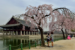 Springtime 2 (withcamera) Tags: flowers trees spring seoul southkorea oldbuilding springflowers gyeongbokgung springtime  changgyeonggung   plumblossoms  nationalpalace