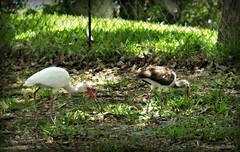White Ibis Fence Friday (Chris C. Crowley) Tags: park tree nature grass birds animals fence wildlife waterbirds earthday whitebird hff magnoliapark juvenilewhiteibis whiteibises adultwhiteibis whiteibisfencefriday