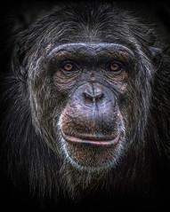 Backwards compatible (10000 wishes) Tags: portrait nature animal ape primate naturephotography animalphotography wildlifephotography