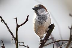 HNS_1083 Huismus : Moineau domestique : Passer domesticus : Haussperling : House Sparrow