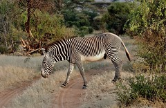 Grevy's Zebra Stopping to Eat Grass In The Middle Of The Road (Susan Roehl) Tags: eastafrica middleoftheroad eatinggrass grevyszebra lewawildlifeconservancy photographictours 150500sigmalens pentaxk3 naturalexposures kenya2015 sueroehl