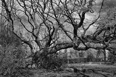 Omgevallen boom groeit al tientallen jaar gewoon door in de tuin van het Piloersemaborg (Gr.) (Maarten Kroon) Tags: holland netherlands dutch landscape borg den nederland thenetherlands ham boom tuin groningen landschap omgevallen piloersemaborg westerkwartier flickrbestpics middaghumsterland