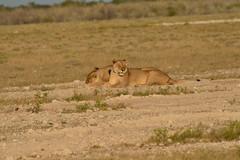 Etosha classic: female lions (pmsoftware) Tags: africa female nikon lions namibia etosha d610