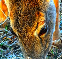The Eyes of a Whitetail Deer (ezigarlick) Tags: canada animal eyes wildlife manitoba deer whitetail dawsonroad lacoulee dawsontrail